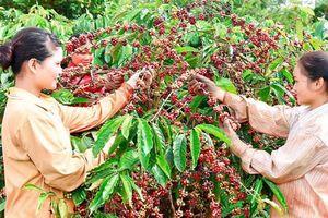 Đắk Lắk: Thấp thỏm nỗi lo vườn cà phê bung hoa sớm