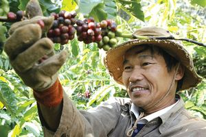 Vay vốn tái canh cà phê: Nhìn từ phía doanh nghiệp