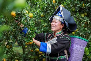 Nông dân Mường Khương bán quýt bằng Facebook, Zalo