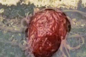 'Sinh vật' quái dị trông như não người khiến dân Mỹ khiếp sợ