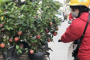Hà Nội xuất hiện táo cảnh đẹp lung linh, giá rất 'bèo'