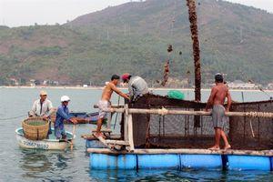 'Thủ phủ' nuôi thủy sản lồng bè Khánh Hòa, Phú Yên 'không dám' thờ ơ bão số 9