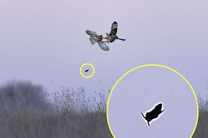 Không chiến, chim vô tình khiến con mồi thoát chết ngoạn mục