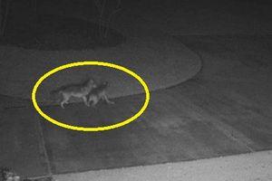 Chó sói đoạt mạng hươu ngay trước cửa nhà dân