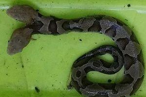 Con rắn đen 2 đầu gây khiếp sợ cho người Mỹ đã chết