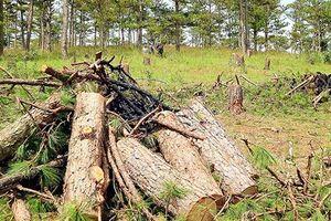 Bất lực giữ rừng thông