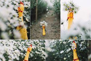 Cười không nhặt được mồm với chùm ảnh 'tôi thấy gà vàng trên cúc họa mi'