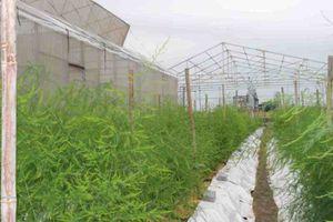 Hiệu quả kinh tế từ mô hình trồng măng tây
