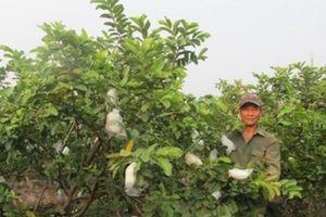 Một xã thu 45 tỷ đồng từ trồng ổi