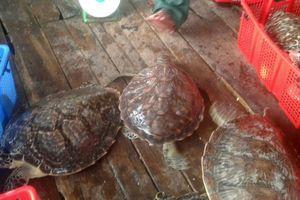 Xử lý hình sự người phụ nữ nuôi nhốt 16 con rùa biển