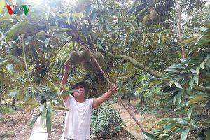 Thương lái ngừng mua trái sầu riêng, nhà vườn 'kêu cứu'