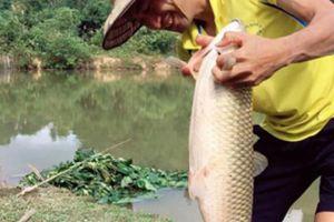 Cần thủ dùng mồi củ sắn câu cá trắm trắng hơn 9kg