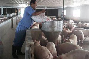 Hàng nghìn nông dân đổi đời nhờ mô hình chăn nuôi heo tiêu chuẩn quốc tế