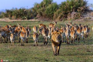 Lạ: 'Vua' sư tử lép vế trước sức mạnh đàn linh dương