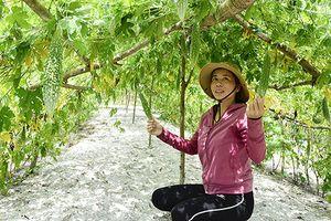 Cây mướp đắng phủ xanh đất cát bạc màu ở Triệu Phong