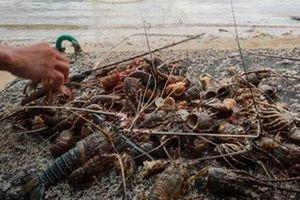 Bão số 9: Tôm hùm nuôi lồng bè chết hàng loạt do sốc nước lũ