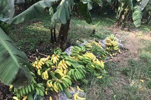 Hà Nội: Tích cực điều tra vụ việc phá hoại vườn chuối của người dân