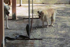 Hai chú chó hợp sức tấn công rắn hổ mang chúa bò vào nhà chủ