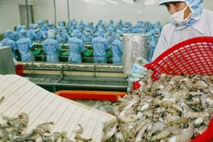 Dư lượng kháng sinh 'cản đường' tôm xuất khẩu