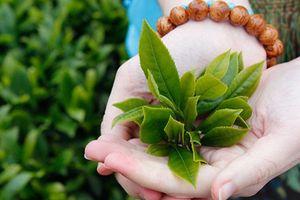 10 tác dụng của lá trà xanh tươi giúp bạn khỏe mạnh