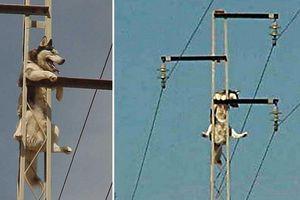 Chó Husky leo cột điện cao thế, chủ nhìn 'khóc thét'