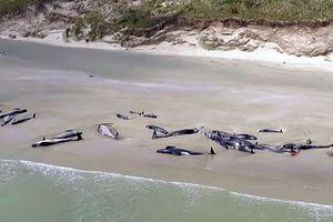 Cá voi hoa tiêu chết dạt bờ New Zealand, rùa chết cóng ở Massachusetts