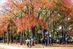 Ngắm nước Nhật trong sắc Thu vàng quyến rũ