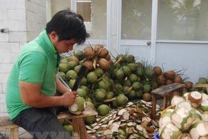 Để ngành dừa phát triển bền vững - Bài 1: Người trồng dừa lao đao