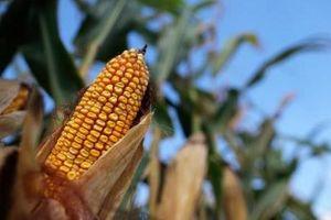 Giá nông sản Mỹ đồng loạt sụt giảm