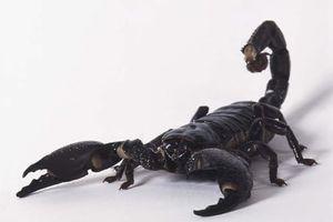 Cách dùng bọ cạp trị các chứng phong thấp, đau khớp