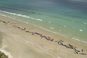 145 chú cá voi mắc cạn đến chết dọc bờ biển New Zealand