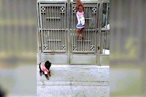 Video chú chó mở cửa tài tình cho bạn vào chơi nhà