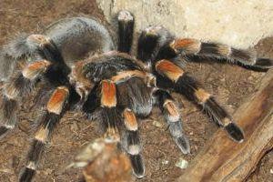 Rợn người chứng kiến nhện tarantula run rẩy lột xác