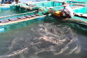 Người nuôi cá bớp và giấc mơ gắn kết du lịch biển