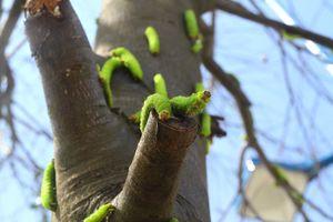 Sâu chi chít tấn công khiến hàng chục cây xanh trụi lá ở TP.HCM