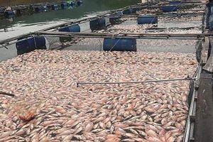 Hơn 50 tấn cá diêu hồng chết nổi trắng hồ sau một đêm