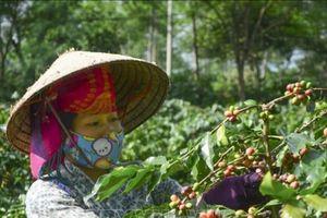 Điện Biên: Cà phê Mường Ảng mất mùa, mất giá