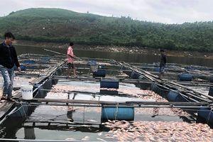 Sau một đêm, hàng chục tấn cá diêu hồng chết nổi trắng mặt hồ