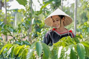 Hoa hậu H'Hen Niê về quê hái cà phê