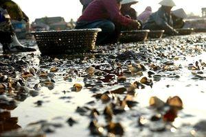 Nghệ An: Chưa tìm ra nguyên nhân ngao chết hàng loạt trên bờ biển