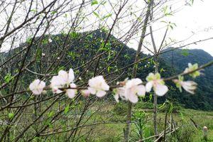 Hoa đào đón xuân sớm ở nơi 'Đà Lạt của xứ Thanh'
