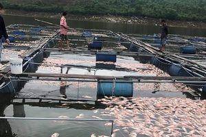 Người dân Đại Lộc mất trắng trên 50 tấn cá sau một đêm