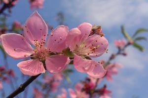 Lạng Sơn: Bảo tồn, phát triển giá trị cây Đào