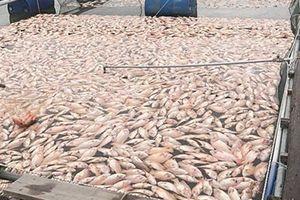 Hơn 52 tấn cá nuôi lồng bè chết bất thường