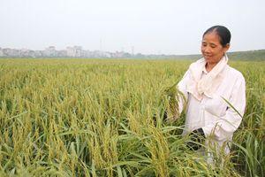 Nếp cái hoa vàng huyện Sóc Sơn: Đặc sản chờ được định danh