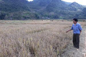 Giống lúa Đại dương 1 hỗ trợ người nghèo ở Cao Bằng bị mất mùa do chất lượng kém!?