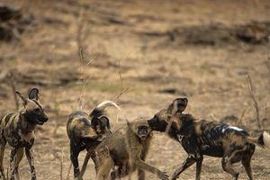 Chó hoang xơi tái khỉ đầu chó, đánh linh cẩu tơi tả