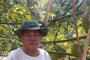 Trái sầu riêng rớt giá, thương lái và nhà vườn gặp khó khăn