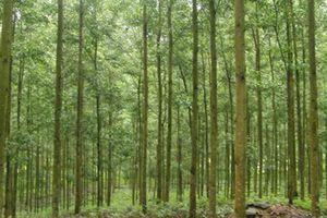 Tổ chức đấu giá: Khai thác rừng trồng cây keo