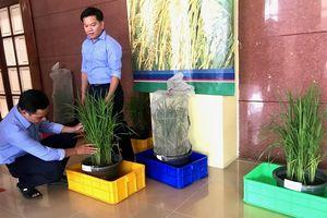 Quản lý tính kháng của rầy nâu hại lúa